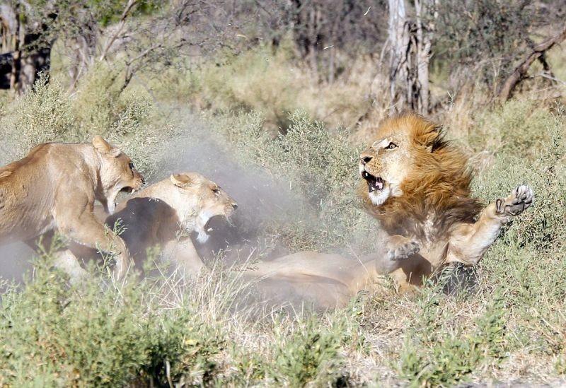 Львицы закатили скандал загулявшему льв
