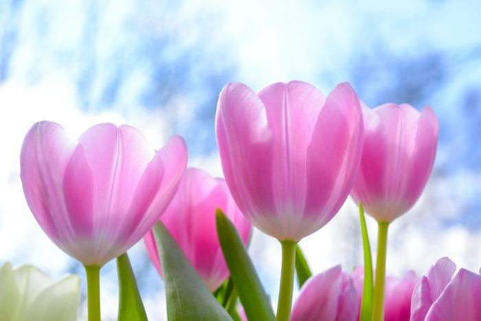 Тюльпаны — символ богатства и нищеты. /Фото: meaningfullyorganized.com