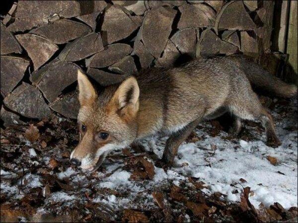 Хитрый вор (4 фото) животные, лиса, яйцо
