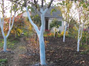 Когда белить деревья?