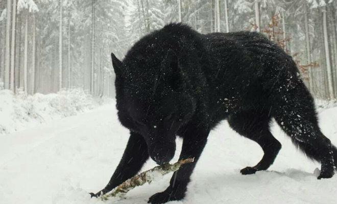 Гигантский волк или оборотень: реальные кадры испуганного охотника