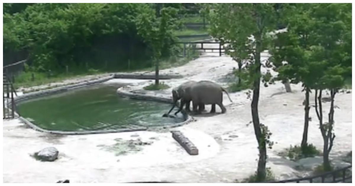 Чудесное спасение слонёнка мамой и папой