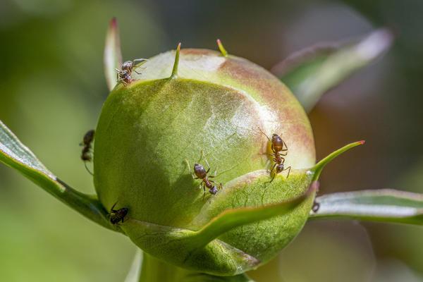 Муравьи подгрызают лепестки пионов
