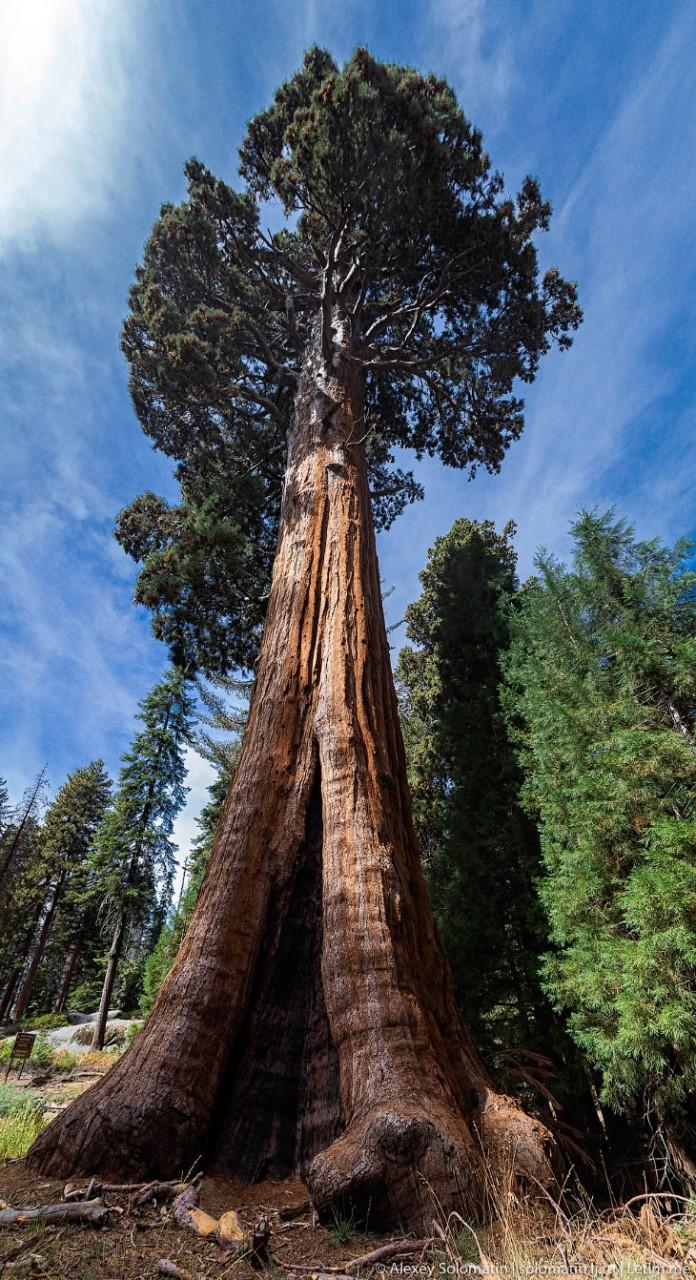 Самое высокое дерево в мире фото