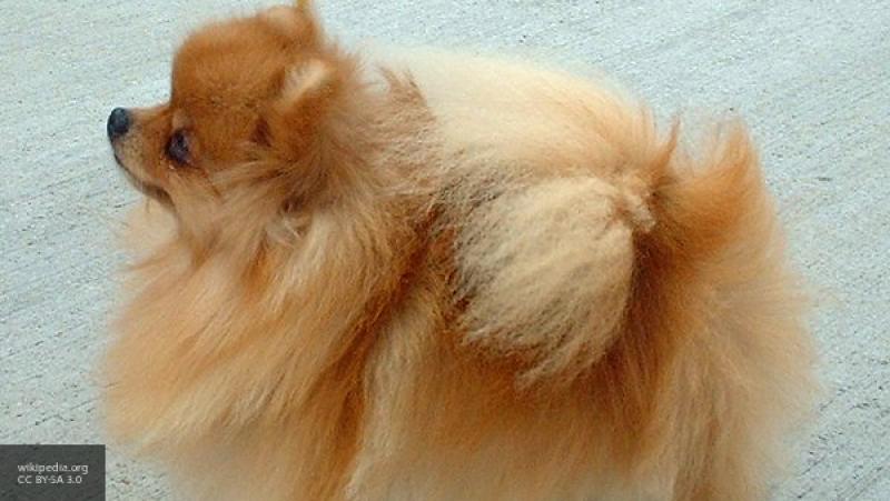 Сыктывкарка ответит в суде за кражу двух собак после смерти любимого питомца