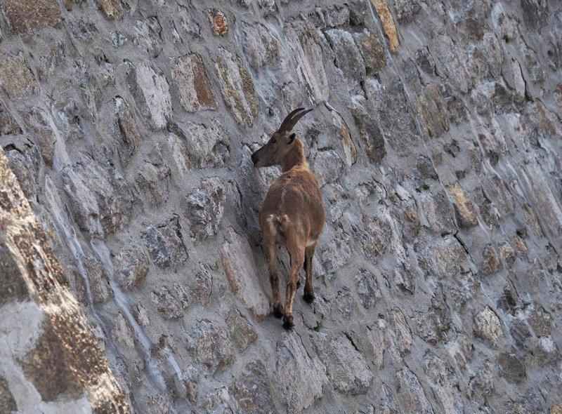 Альпийские козы в Италии ходят по отвесной плотине. Как?! в мире, высота, гравитация, животные, коза, экстрим