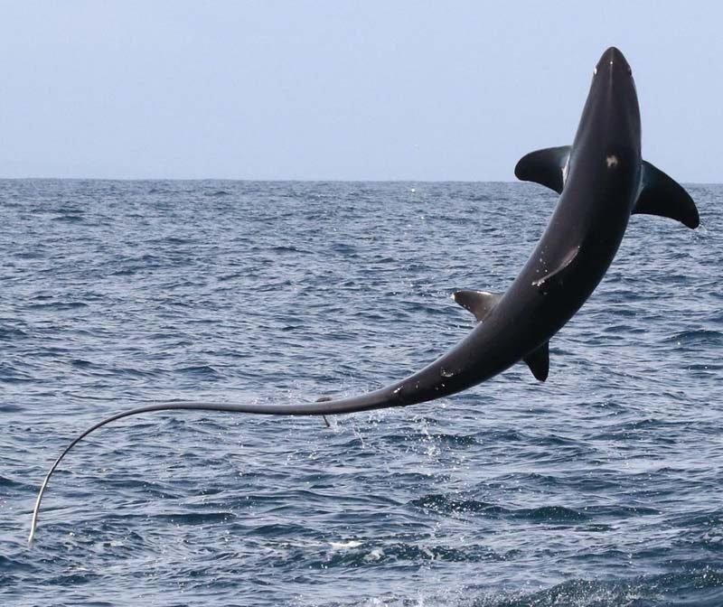 Туристы были шокированы тем, как высоко из воды смогла выпрыгнуть большущая лисья акула акула, в мире, животные, люди, туристы, шок