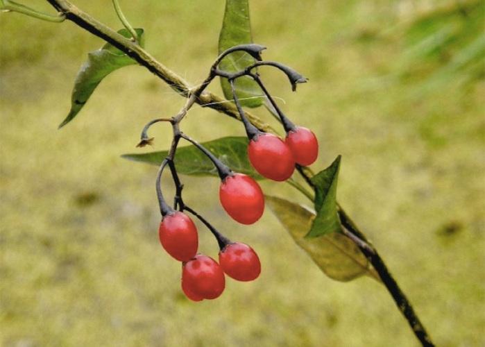 Лесные ягоды опасные для здоровья