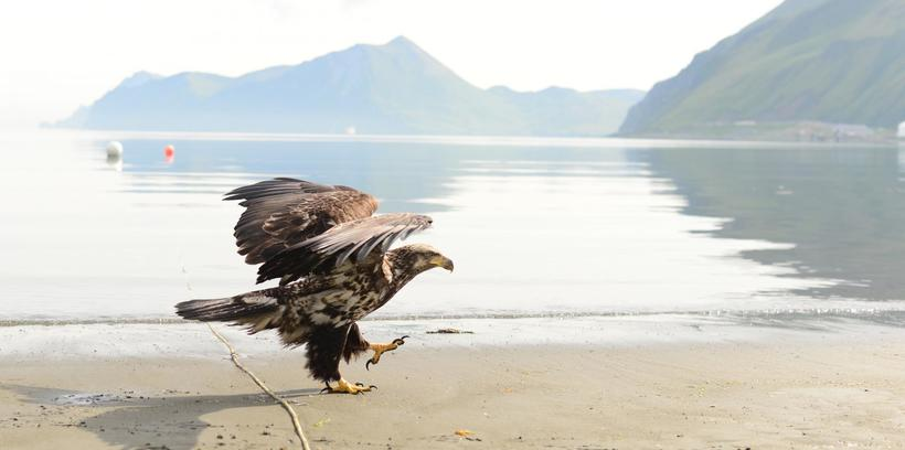 Город на Аляске, где орланов больше, чем ворон, а значит, у людей большие проблемы