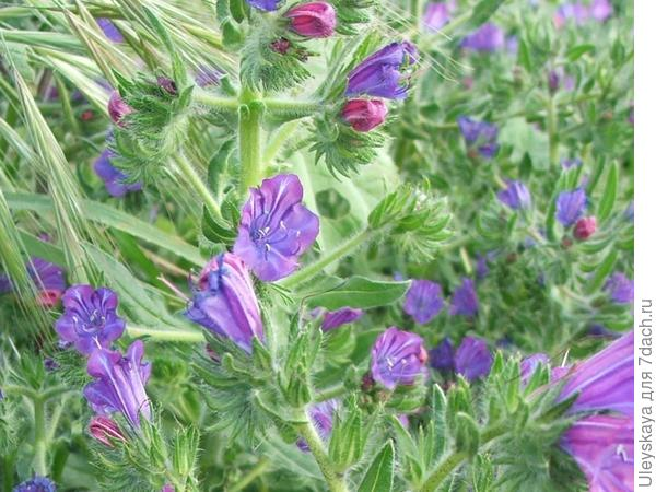 Синяк кривоцветковый. Фото с сайта maltawildplants.com