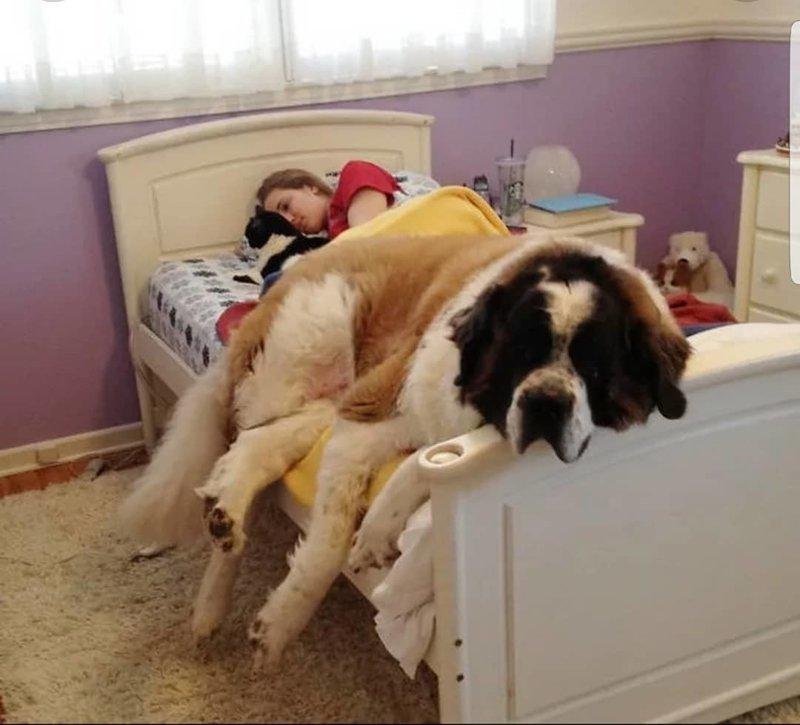Сенбернары и Ньюфаундленды - такие милашки гиганты, красота, молоссы, огромные, собаки