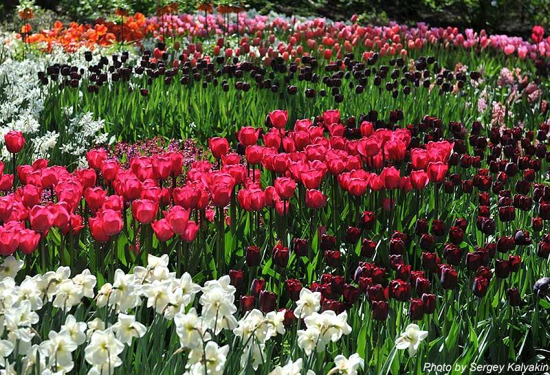 Тюльпаны, нарциссы, гиацинты…