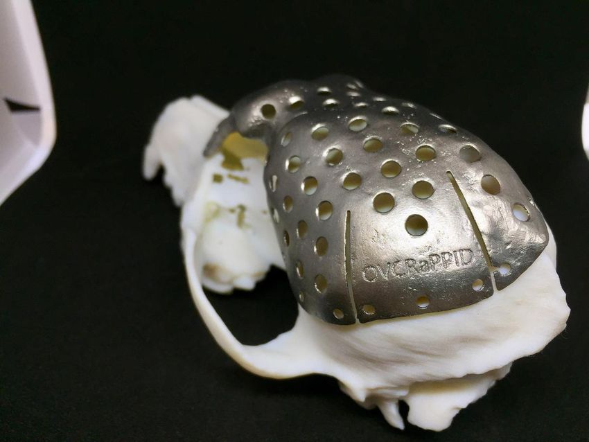 A replacement skull for Patches made of titanium is shown in a handout photo.