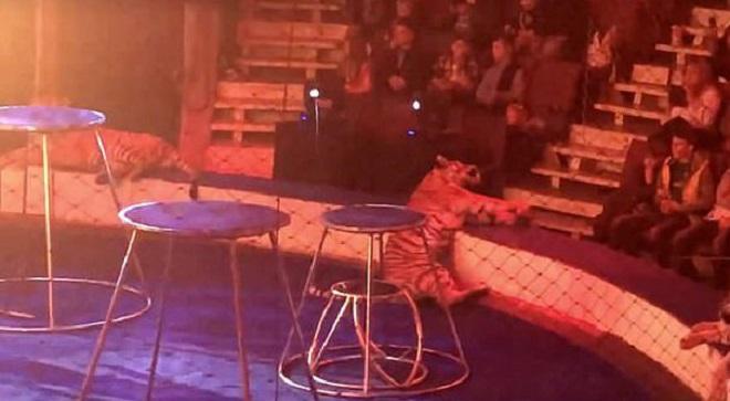 «Цирк с животными пора запретить!»: мир шокирован тем, что произошло с тигрицей Зеной