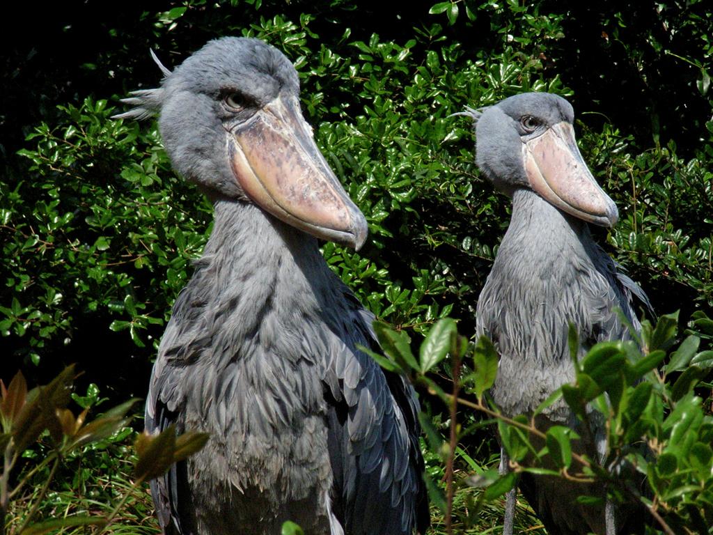 открывает самые смешные птицы мира фото река, которая считается