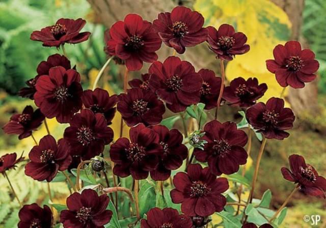Существует цветок, который пахнет, как шоколад