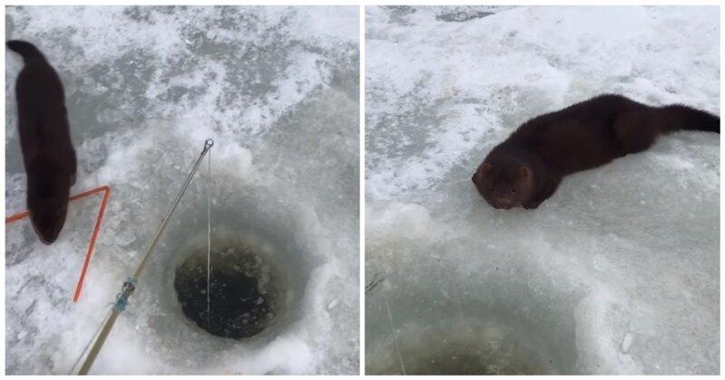 Рыбак поделился уловом с голодной норкой аляска, видео, голод, животные, рыбак, рыбалка, сша, хорек