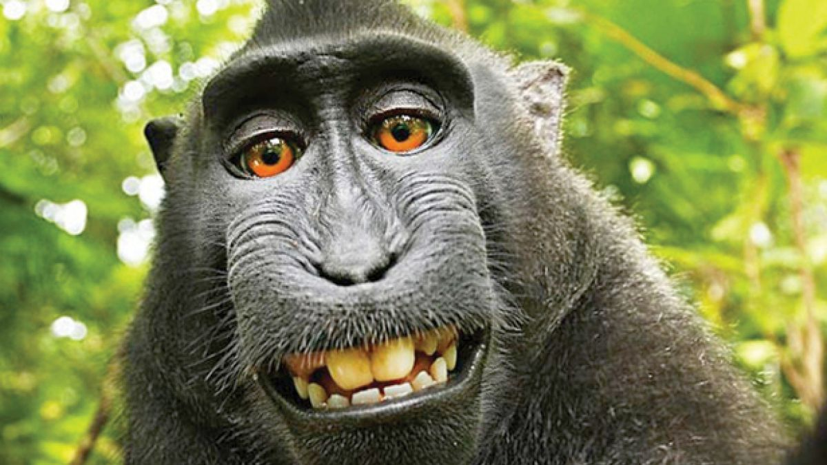 Британский фотограф отсудил авторские права на селфи обезьяны