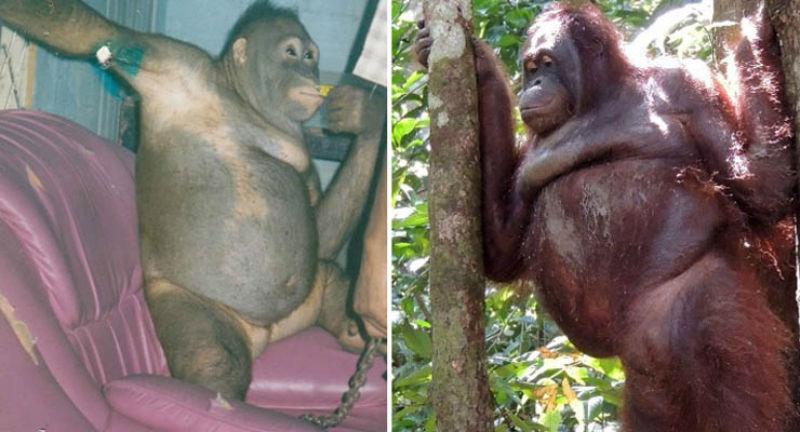 История орангутана Пони, которая шесть лет провела в сексуальном рабстве на острове Борнео