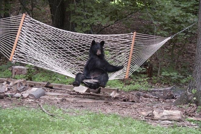 Картинки по запросу медведь в гамаке