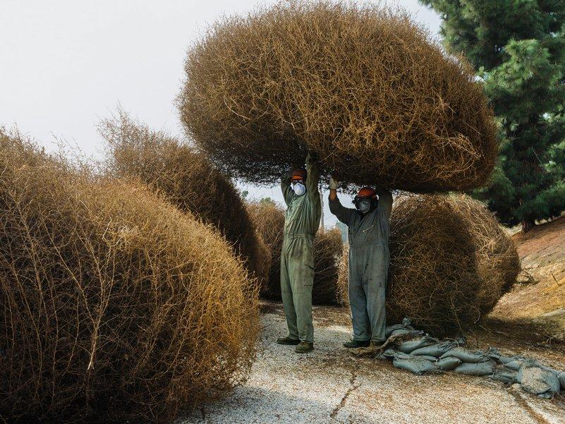 Перекати-поле: сорняк, завоевавший Запад Salsola, которые, перекатиполя, перекатиполе, когда, солянка, более, растения, сорняка, семян, солянки, семена, сорняк, штате, через, хозяйства, вроде, сельского, размером, чтобы