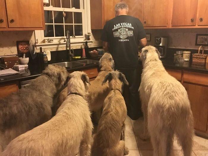16. Ирландские волкодавы в ожидании арахисового масла волкодав, волкодавы, домашние питомцы, забавные собаки, собаки, собаки и дети, собаки и хозяева, фото собак