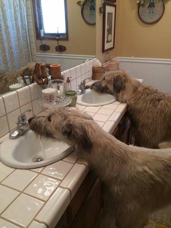 36. Кому вообще нужны питьевые миски, если в доме две раковины? волкодав, волкодавы, домашние питомцы, забавные собаки, собаки, собаки и дети, собаки и хозяева, фото собак