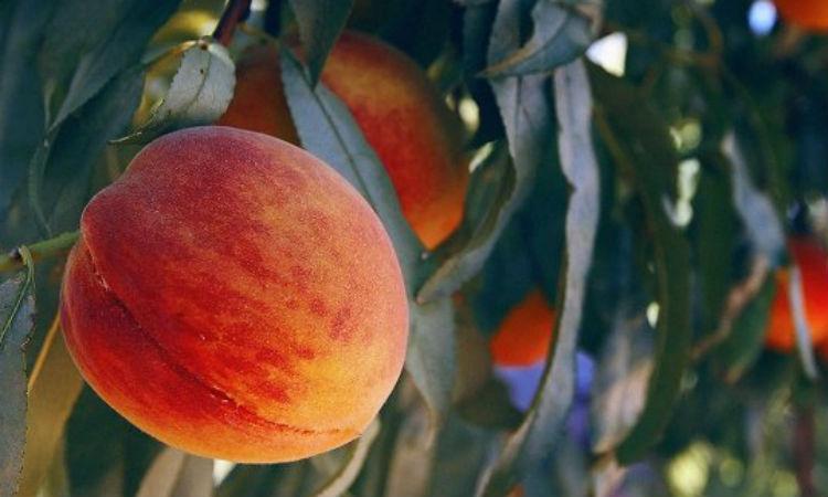 Нектарин: 5 полезных свойств, которые творят с телом чудеса