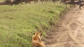 Лев убивает антилопу гну