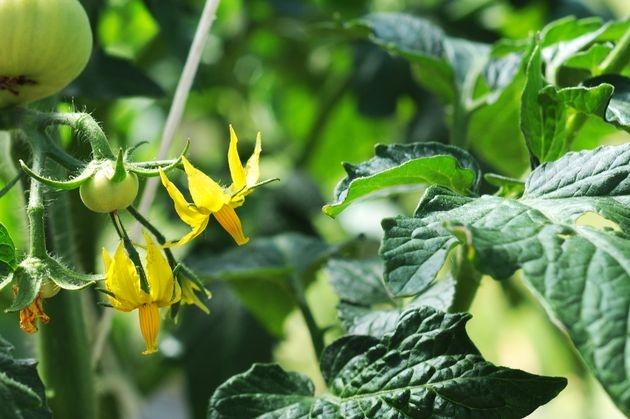 Ботва – универсальный помощник сада и огорода