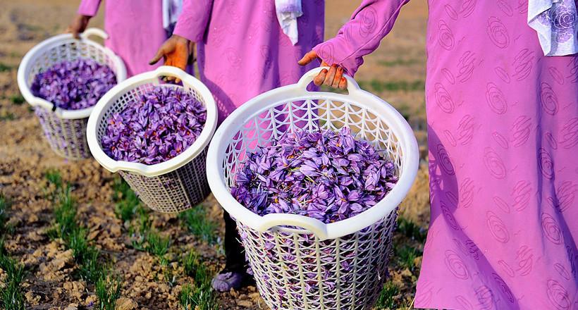 Сокровище Ирана: как производят шафран — самую дорогую пряность в мире