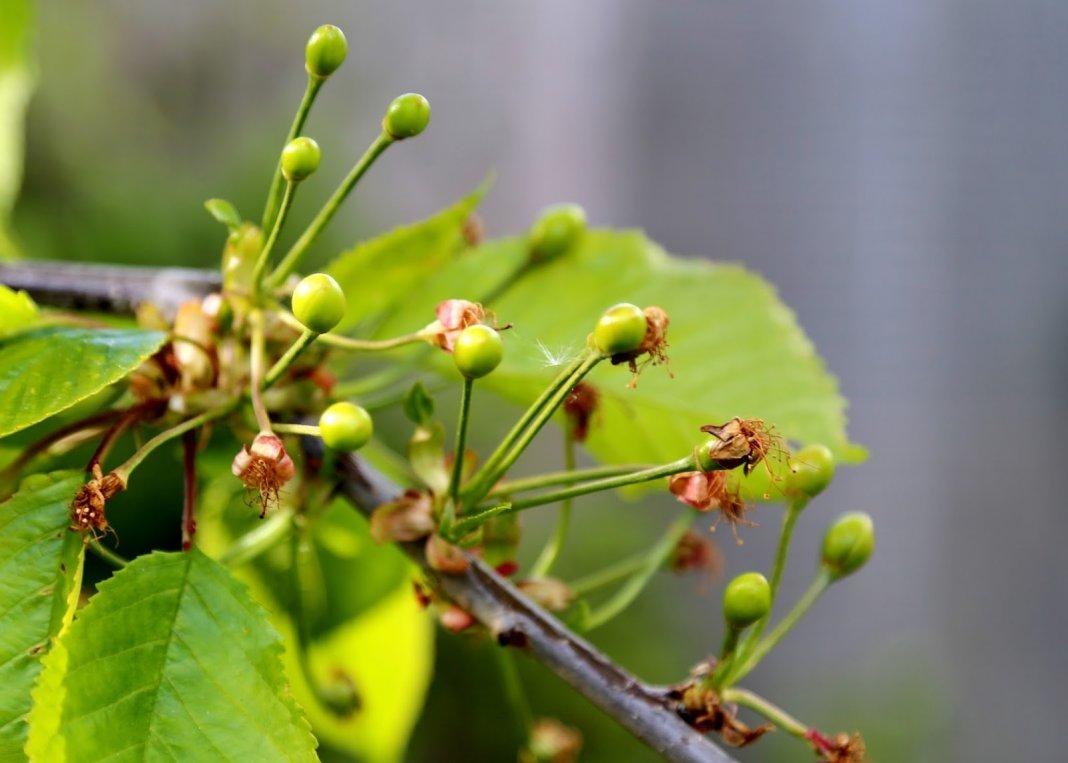 Почему опадают завязи и растущие плоды вишни и сливы?