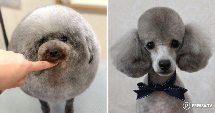 Японский грумер преображает собак