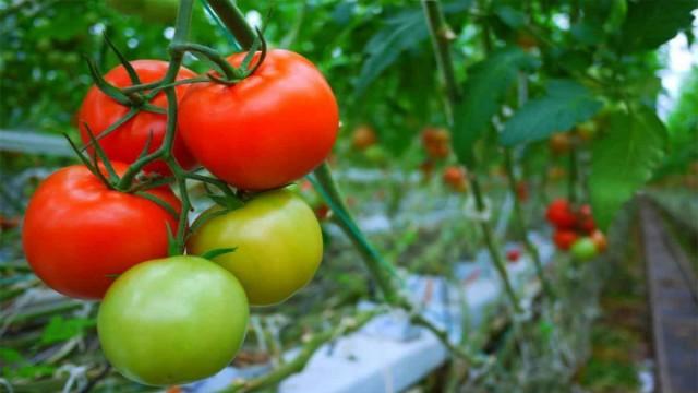 Календарь ухода за томатами по месяцам