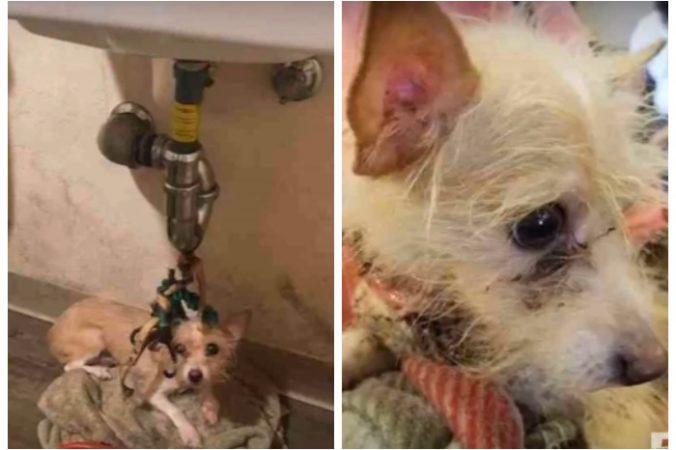 Хозяева квартиры съехали, а маленькую собачонку привязали к раковине