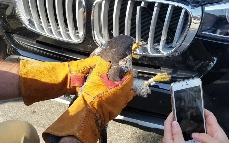 Спасение сокола, застрявшего в автомобильной решетке радиатора