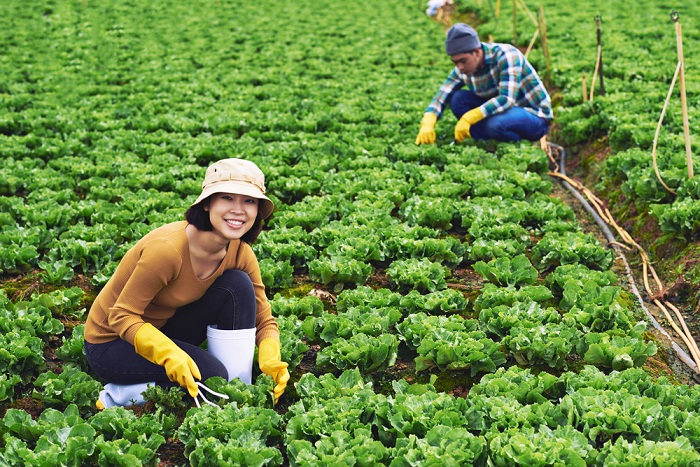 листья салата для похудения
