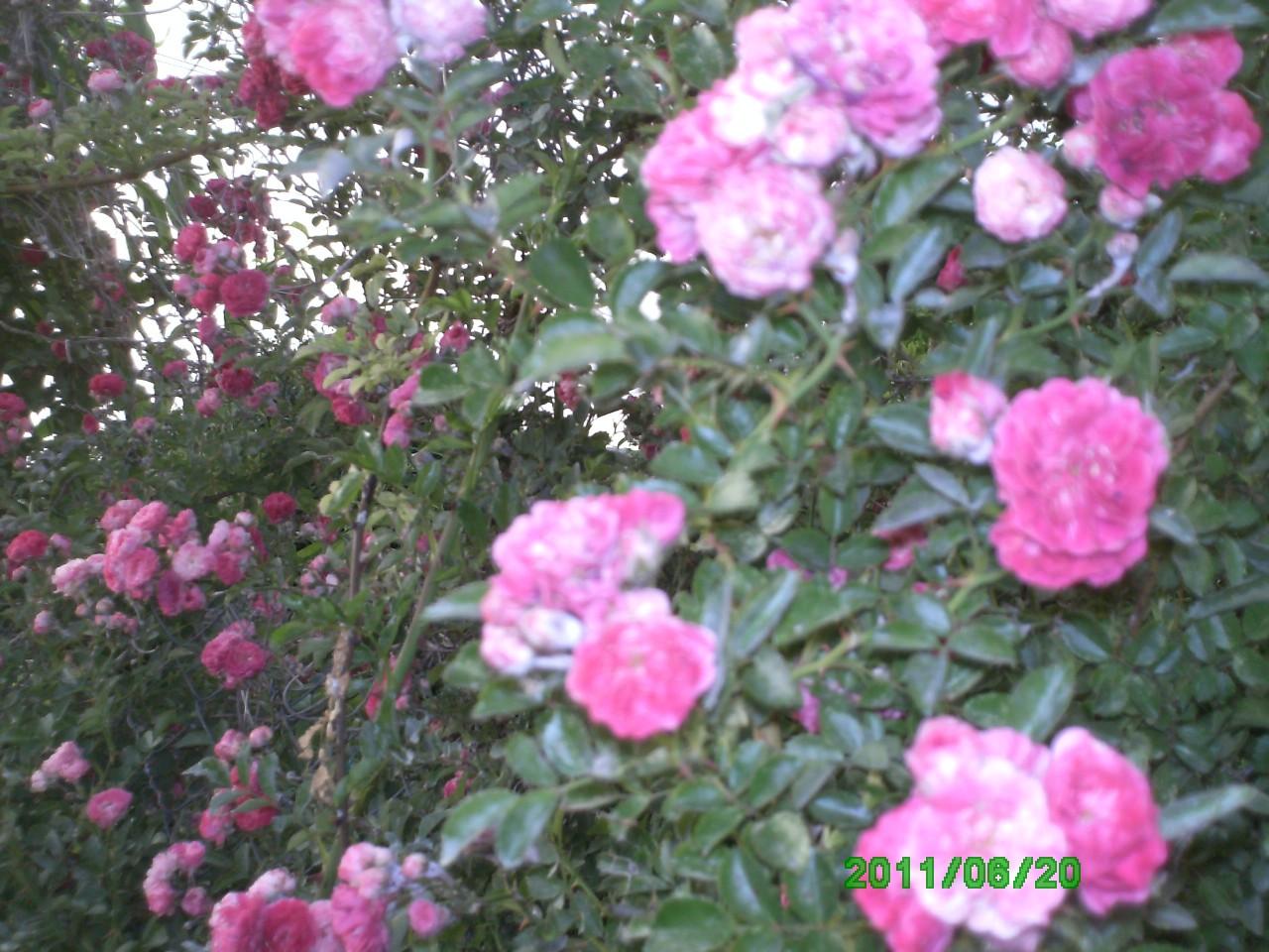 Цветок -  удача  2011года