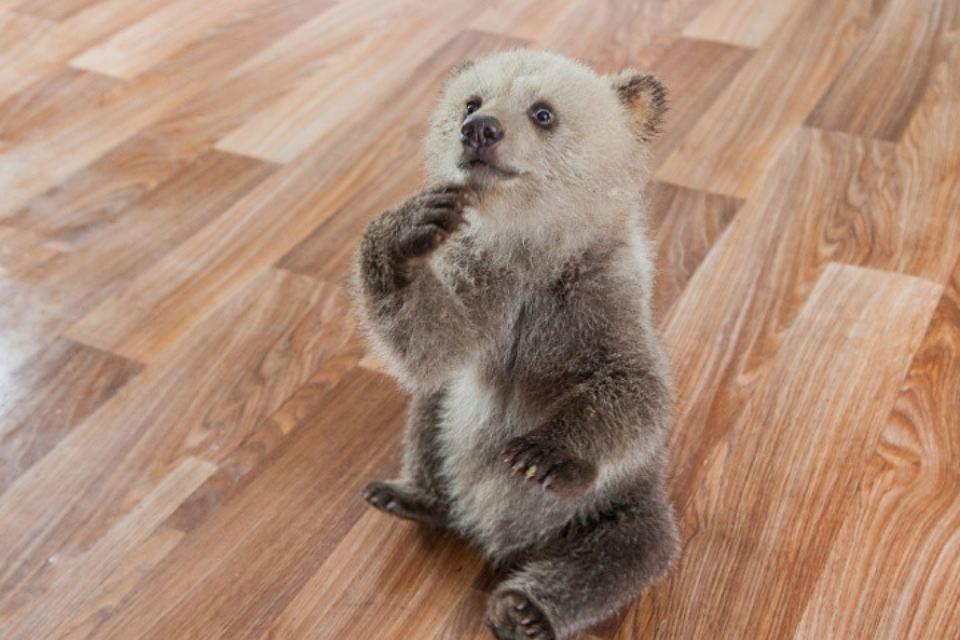 Нижегородец спас трехмесячного медвежонка от гибели