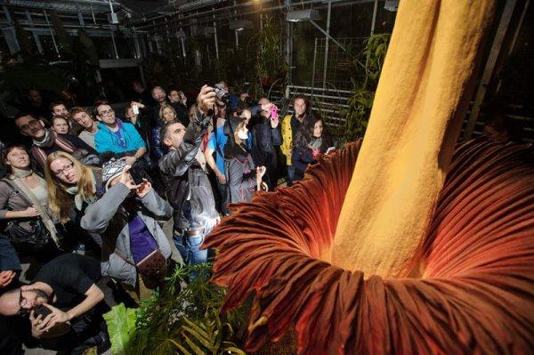 О том, как распустился самый большой в мире цветок (5 фото)
