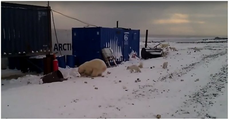 Белый медведь устроил охоту на песцов в поселке