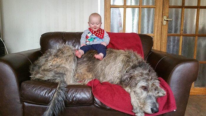38. Ирландский волкодав Броди (ребенок - для масштаба) волкодав, волкодавы, домашние питомцы, забавные собаки, собаки, собаки и дети, собаки и хозяева, фото собак