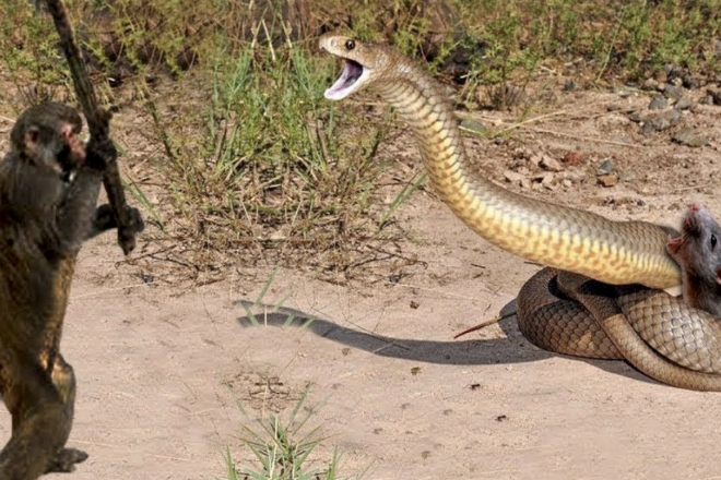 Обезьяна с палкой пришла на помощь мыши, которую хотела съесть змея