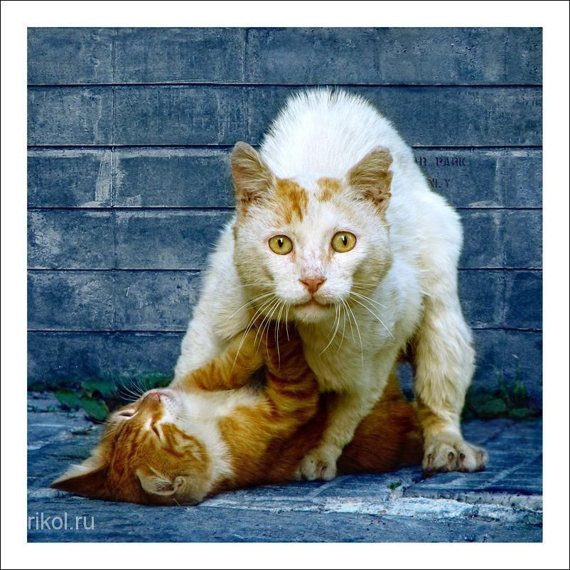 Кошачьий секс