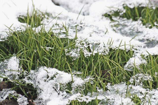 Газон вымерзает зимой