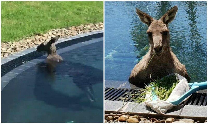 Австралийцы засняли, как в их бассейне прохлаждается 70-килограммовый кенгуру австралия, видео, животные, забавно, забавные животные, кенгуру, неожиданно, сюрприз