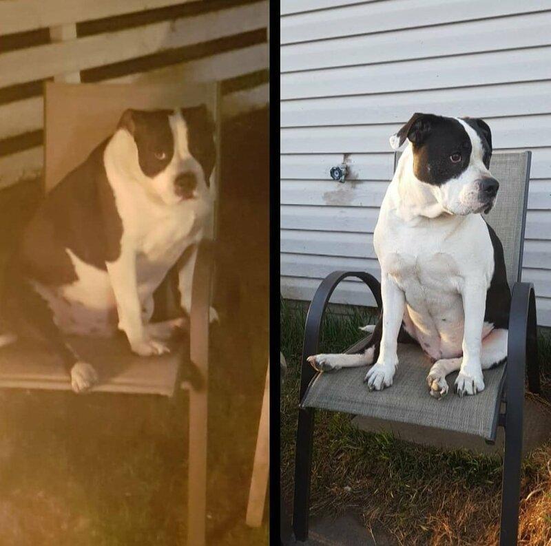13. Пёс по кличке Босс тоже не отстаёт диета, до и после, домашний питомец, животные, похудела, собака, фигура