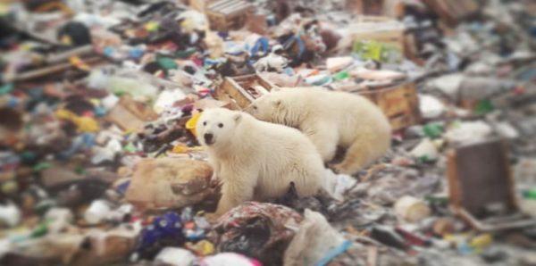 Белые медведи заходят в подъезды домов на Новой Земле война и мир
