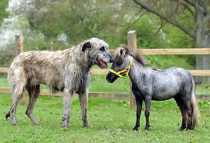24. Самая маленькая лошадка в Британии и ирландский волкодав Фергюс волкодав, волкодавы, домашние питомцы, забавные собаки, собаки, собаки и дети, собаки и хозяева, фото собак