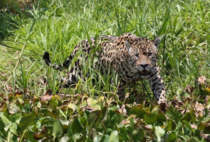 Ягуар пообедал кайманом